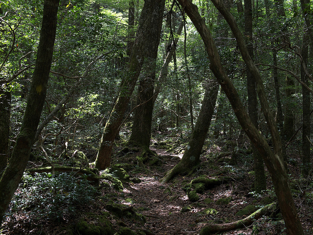 Aokigahara forest, a trail